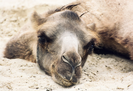 cartage: Bactrian camel (Camelus bactrianus) lying and relaxing in the sand by summer. Animal portrait.
