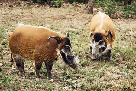 bush hog: Pair of Red river hog (Potamochoerus porcus). Animal theme.