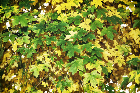 changing seasons: Beautiful green and yellow leaves. Autumn seasonal theme. Stock Photo