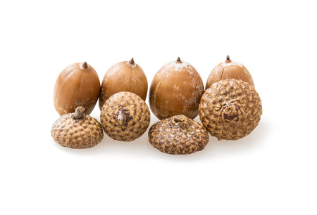 acorn seed: Acorns isolated on the white . The acorn, or oak nut, is the nut of the oaks and their close relatives (genera Quercus and Lithocarpus, in the family Fagaceae).