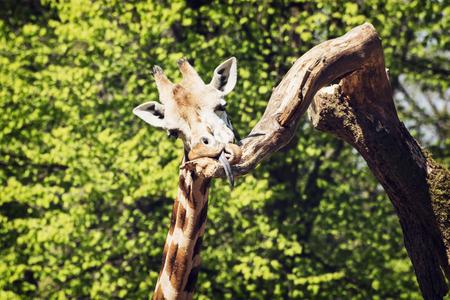 animal photo: Rothschilds giraffe (Giraffa camelopardalis rothschildi) licking the tree branch. Funny animal photo.