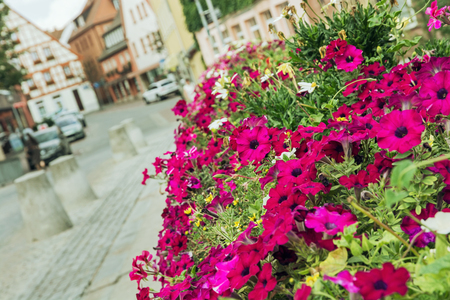 purple flowers: Flower bed of purple flowers in the historic city center of Schwabach, Germany.