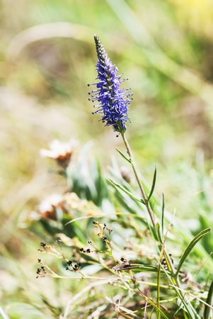 subtly: Veronica spicata (Pseudolysimachion spicatum) in the summer meadow. Natural scene. Stock Photo