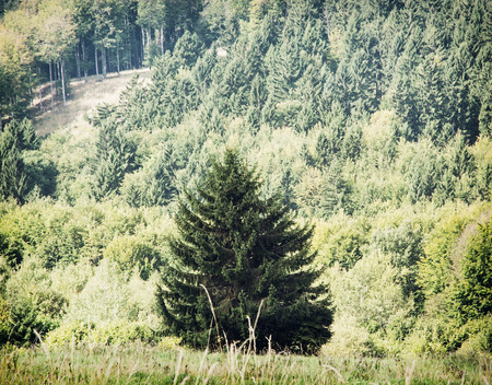 picea: Picea abies tree in front of the coniferous forest. Natural scene. Stock Photo