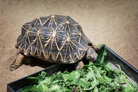 radiated: Radiated tortoise (Astrochelys radiata) feeding. Animal scene.