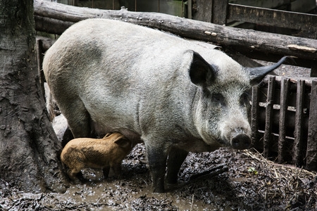 piglets: Swine family in mud. Domestic pig (Sus scrofa domesticus). Farm animal theme. Stock Photo
