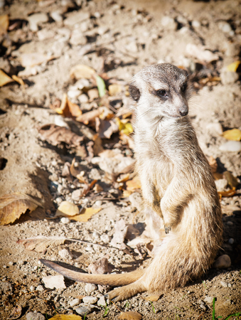 looking around: The meerkat or suricate (Suricata suricatta) looking around. Animal theme.