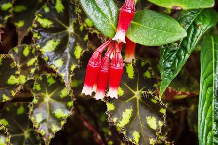 tropical garden: Macleania cordifolia in the tropical garden. Natural theme.