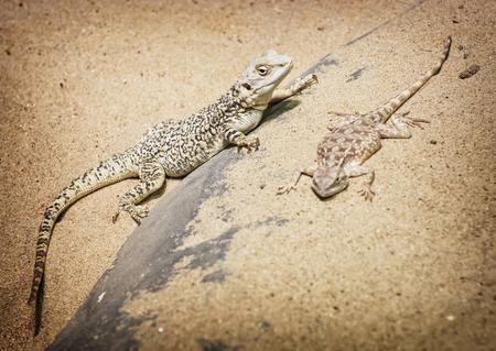 bearded dragon: Central bearded dragon (Pogona vitticeps) and Steppe agama (Trapelus sanguinolentus) in the sand. Stock Photo
