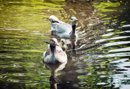 palmiped: Couple of geese with cub swimming on the lake. Natural scene.
