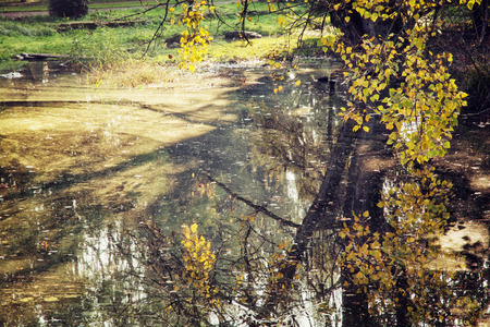 beech tree beech: Yellow beech tree over the lake in the fall. Seasonal natural theme. Pond scene.