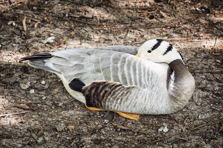 webbed feet: Bar-headed goose (Anser indicus) is a goose that breeds in Central Asia in colonies of thousands near mountain lakes and winters in South Asia, as far south as peninsular India.