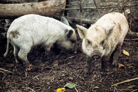 scrofa: Two domestic pigs (Sus scrofa domesticus). Farm animal theme. Stock Photo
