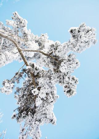 pine tree branch: Snowy pine tree branch and blue sky. Natural seasonal scene.