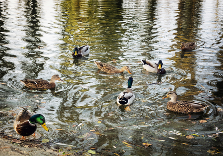 palmiped: Group of wild mallard ducks in the pond. Seasonal natural scene. Waterfowl in the lake.