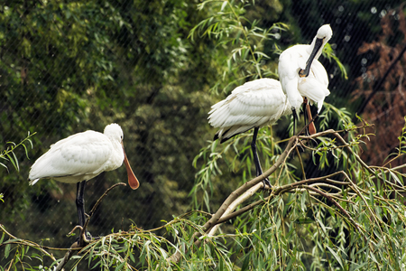 palmiped: The Eurasian spoonbill or Common spoonbill (Platalea leucorodia) is a wading bird of the ibis and spoonbill family Threskiornithidae. Group of birds. Animal scene. Stock Photo