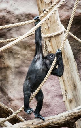 lowland: Young Western lowland gorilla (Gorilla gorilla gorilla). Animal scene. Vertical composition. Stock Photo
