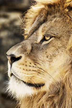 animal species: Portrait of a Barbary lion (Panthera leo leo). Animal background. Endangered animal species.