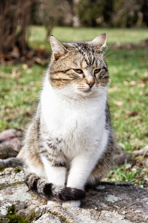 felis silvestris catus: Domestic cat posing in outdoors. Animal portrait. Felis catus.