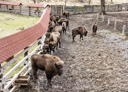 fenced: Group of European bison in the fenced paddock. Animal theme. Herd of european bisons.
