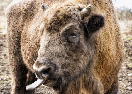 blowhole: European bison (Bison bonasus) tongue out. Close up portrait.