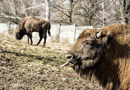 lengua afuera: Bisonte europeo (Bison bonasus) roza la hierba y la lengua fuera. Escena Animal.