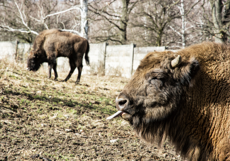 lingua fuori: European bison (Bison bonasus) grazes the grass and tongue out. Animal scene.