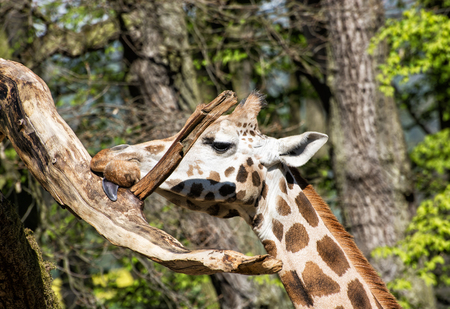 ugandan: Rothschilds giraffe (Giraffa camelopardalis rothschildi) licking the tree branch. Funny animal portrait. Stock Photo