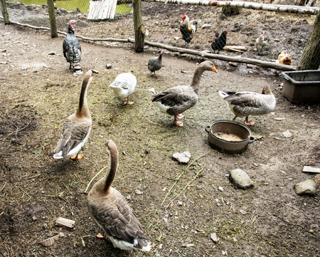 webbed feet: Geese, chickens and turkeys in the farm. Domestic animals. Stock Photo