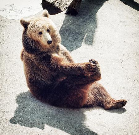 angry teddy: Brown bear (Ursus arctos arctos) sitting on the ground and licks his paw. Animal theme. Stock Photo