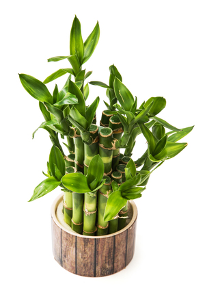 lucky bamboo: Green lucky bamboo plant isolated on the white background.