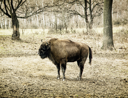 animal species: European bison (Bison bonasus) grazing in the meadow. Animal scene. Endangered animal species.