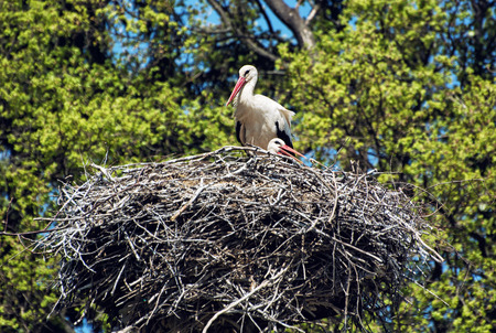 Family of White stork (Ciconia ciconia) in the nest. Animal scene. Seasonal natural scenery.