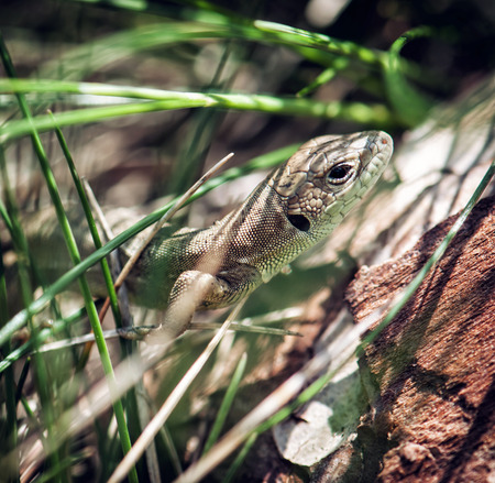lacerta: Beautiful European green lizard (Lacerta viridis) is hidden in the grass.