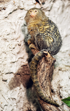 pygmy: Pygmy marmoset (Cebuella pygmaea). Animal scene. Beauty in nature.