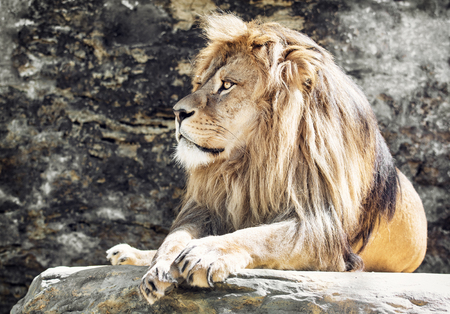 vigilant: Barbary lion (Panthera leo leo). Animal portrait. Lion king.