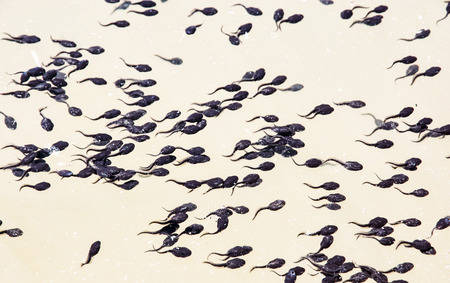 larval: Group of tadpoles in the lake. Natural scene. Larval stage.