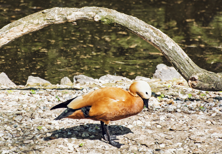 anatidae: Ruddy shelduck (Tadorna ferruginea) is a member of the duck, goose and swan family Anatidae. It is in the shelduck subfamily Tadorninae. Bird scene.