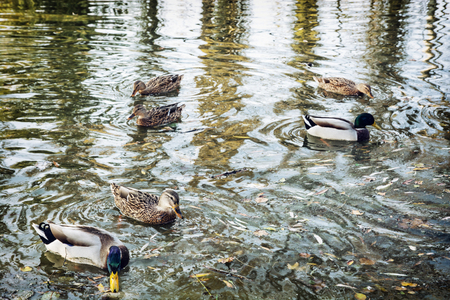 waterfowl: Group of wild mallard ducks in the pond. Waves and reflection. Waterfowl in the lake. Stock Photo