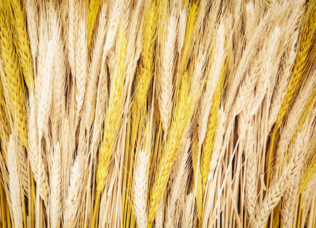 wheatfield: Yellow wheat cobs. Agricultural theme. Harvest background.