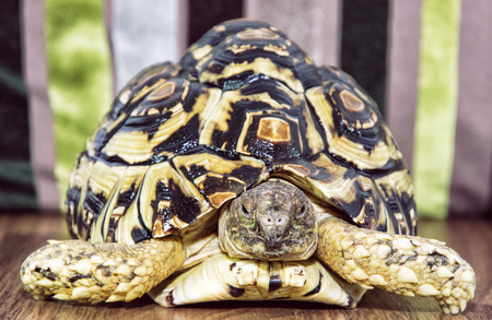 animal species: Beautiful Leopard tortoise (Geochelone pardalis) portrait. Animal theme. Endangered animal species.