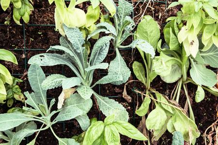 planted: Green kohlrabi planted in the garden. Gardening theme.
