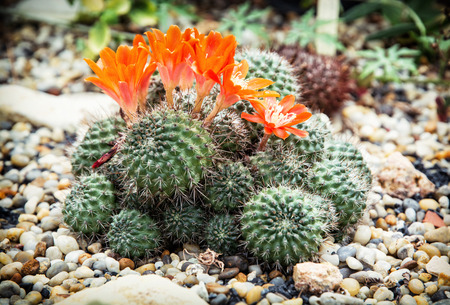 subtly: Detail photo of Rebutia almeyeri plant. Natural scene. Stock Photo