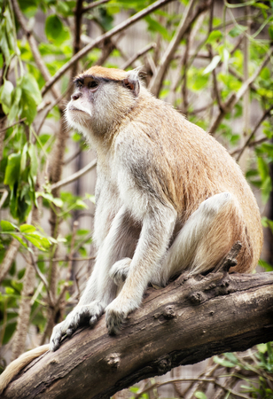 hussar: Patas monkey (Erythrocebus patas) sitting on the branch and observing surroundings. Animal scene. Stock Photo