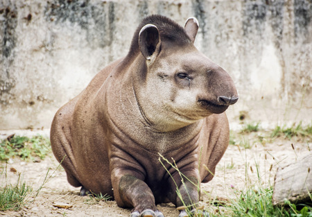 animal species: South American tapir (Tapirus terrestris) also know as Brazilian tapir and Lowland tapir. Endangered animal species.