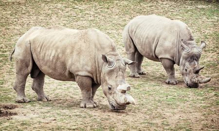 two animals: White rhinoceros (Ceratotherium simum simum). Two animals. Critically endangered species.