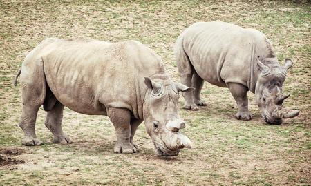 White rhinoceros (Ceratotherium simum simum). Two animals. Critically endangered species.