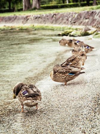 palmiped: Group of wild mallard ducks on the lake shore Balaton, Hungary. Natural scene. Beauty in nature.