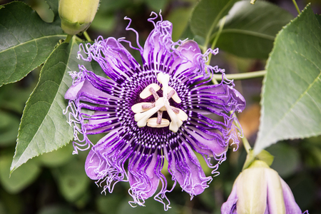 macro   photo: Macro photo of Passiflora incarnata flower in botanic garden. Nature scene. Beauty in nature.