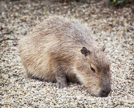 extant: Capybara (Hydrochoerus hydrochaeris) is a large rodent of the genus Hydrochoerus of which the only other extant member is the lesser capybara (Hydrochoerus isthmius).